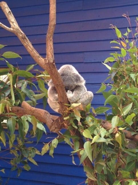 Koala yoga australie Dream World