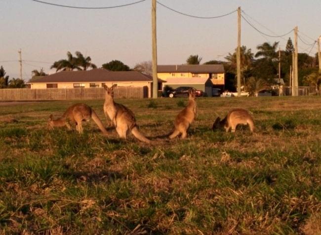 kangourou bundaberg fruit picking