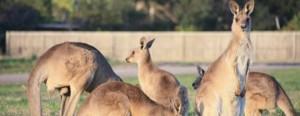 kangourou-queensland-australie