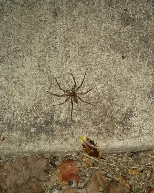 spider-arraigné-dangeureuse-queensland