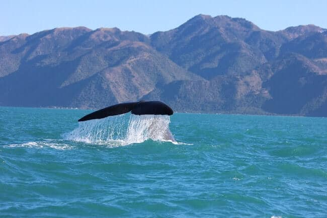 Tour en baleine Kaikoura Nouvelle Zélande