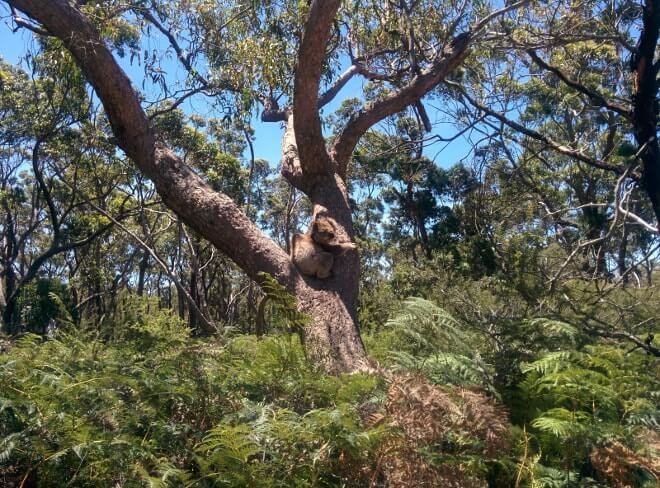 Raymond Island - sanctuaire des koalas en Australie-min